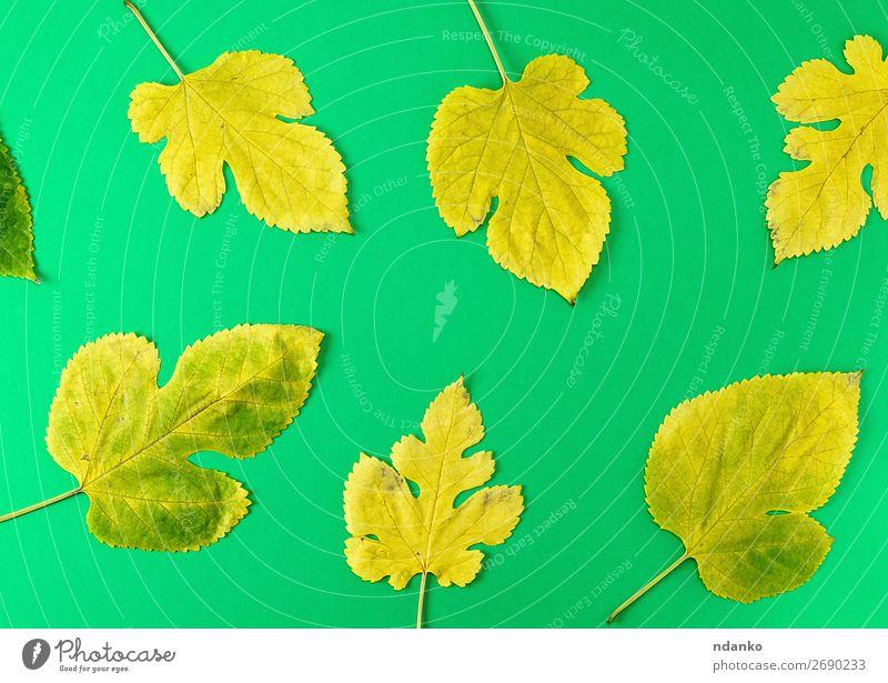 gelbe und grüne Maulbeerblätter Dekoration & Verzierung Natur Pflanze Herbst Baum Blatt hell natürlich Farbe herbstlich Hintergrund Transparente Borte Botanik