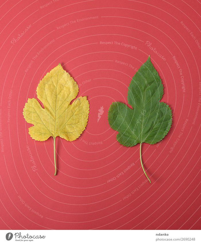 gelbe und grüne Blätter einer Maulbeere Garten Umwelt Natur Pflanze Herbst Baum Blatt Wachstum frisch hell klein natürlich rot Farbe Hintergrund Botanik fallen