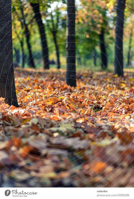 Stadtpark mit Bäumen und trockenen gelben Blättern Sonne Umwelt Natur Landschaft Pflanze Herbst Baum Blatt Park Wald hell natürlich gold grün Stimmung Farbe