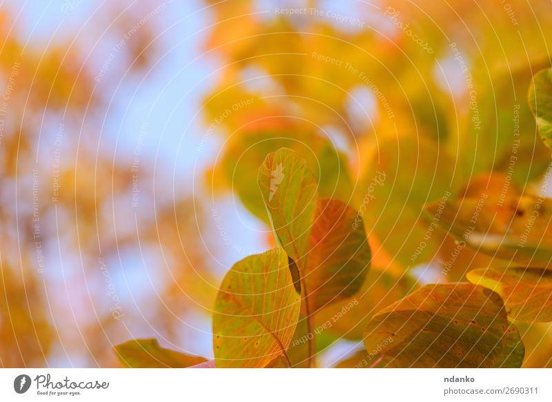 orangefarbene und gelbe Blätter von Cotinus coggygria Garten Natur Landschaft Pflanze Himmel Herbst Baum Blatt Park Wald hell natürlich blau rot Farbe