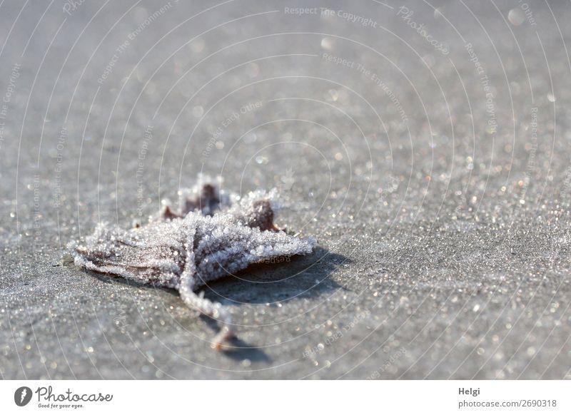 ein mit Eiskristallen bedecktes Blatt liegt auf einem frostig glitzernden grauen Untergrund Umwelt Natur Pflanze Winter Schönes Wetter Frost Park frieren liegen