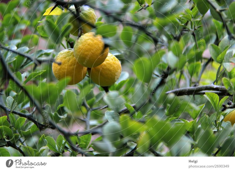 fast reife Zitronen wachsen am Baum mit grünen Blättern Lebensmittel Frucht Zitronenbaum Ernährung Umwelt Natur Pflanze Herbst Blatt Nutzpflanze Zweige u. Äste