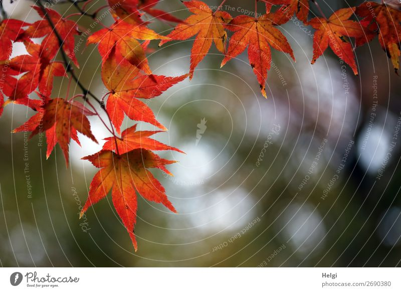 Ahornblätter Natur Pflanze rot Baum Blatt Leben Herbst Umwelt natürlich Garten orange braun grau Stimmung leuchten Schönes Wetter