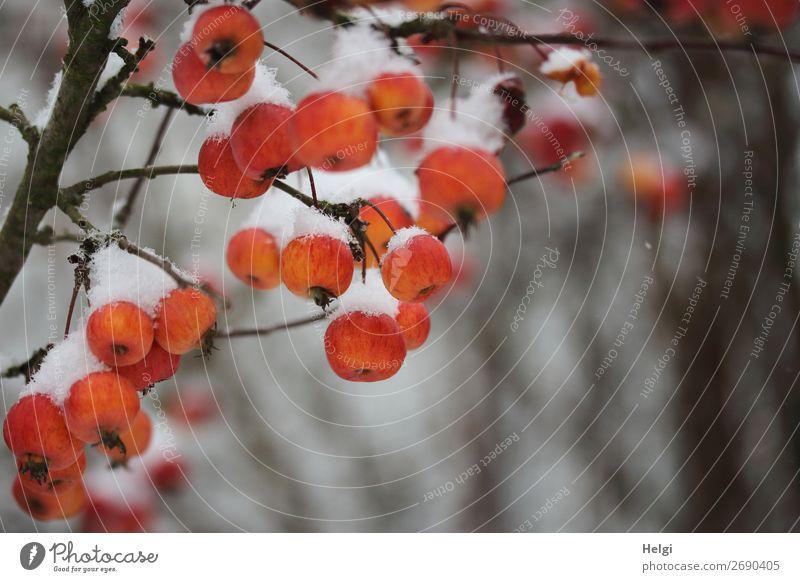 Zweig mit orangeroten Zieräpfeln, die mit Schneehäubchen bedeckt sind Umwelt Natur Pflanze Winter Baum Apfelbaum Zweige u. Äste Garten frieren hängen