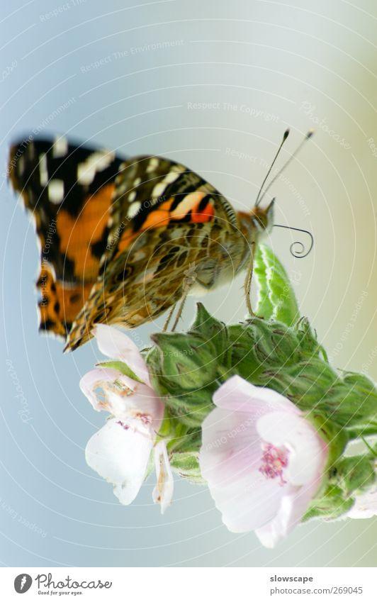 Schmetterling auf Blüte Pflanze Blatt Tier 1 sitzen ästhetisch hell schön blau mehrfarbig grün rosa Fröhlichkeit Tierliebe authentisch Admiral