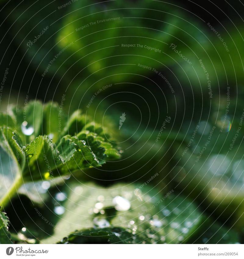 in den Tiefen deines Gartens.. Umwelt Natur Pflanze Regen Blatt Frauenmantel Frauenmantelblatt Stauden Blütenstauden Heilpflanzen Gartenpflanzen frisch nass