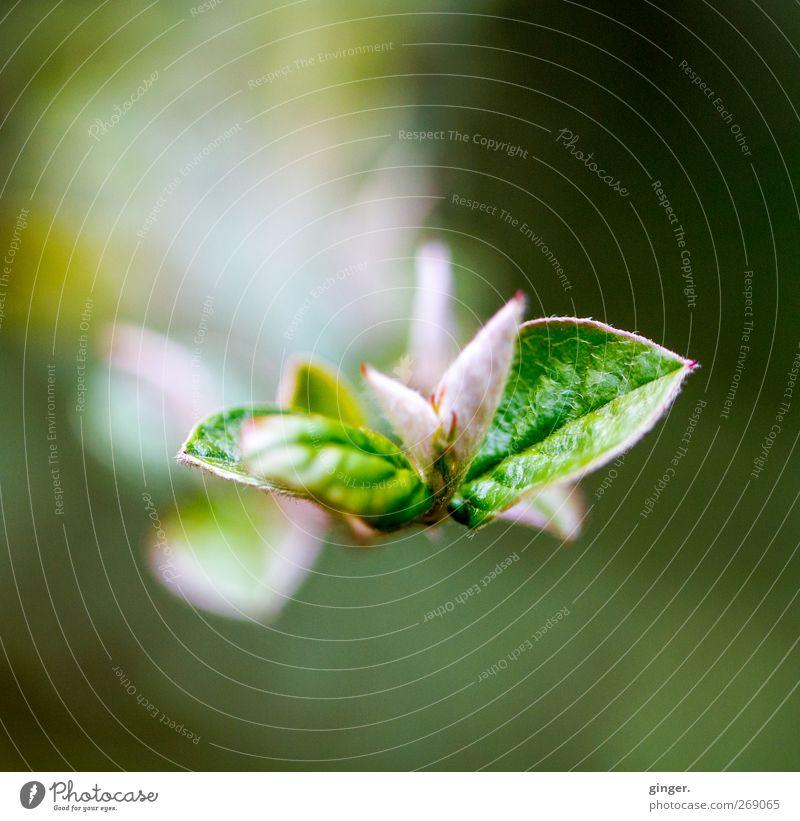 Jedes Jahr aufs Neue Umwelt Natur Pflanze Frühling Sträucher Blatt Grünpflanze grün rosa Blattknospe gerollt Wachstum entfalten aufgeblättert hell dunkel