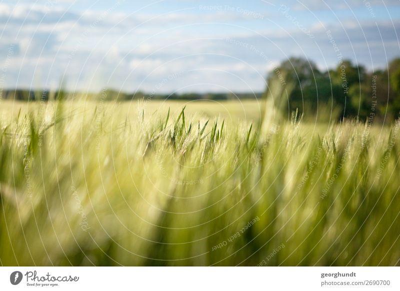 Field of Depth Umwelt Landschaft Frühling Sommer Schönes Wetter Pflanze Nutzpflanze Feld Zufriedenheit Lebensfreude Gerste Ackerbau Mecklenburg-Vorpommern