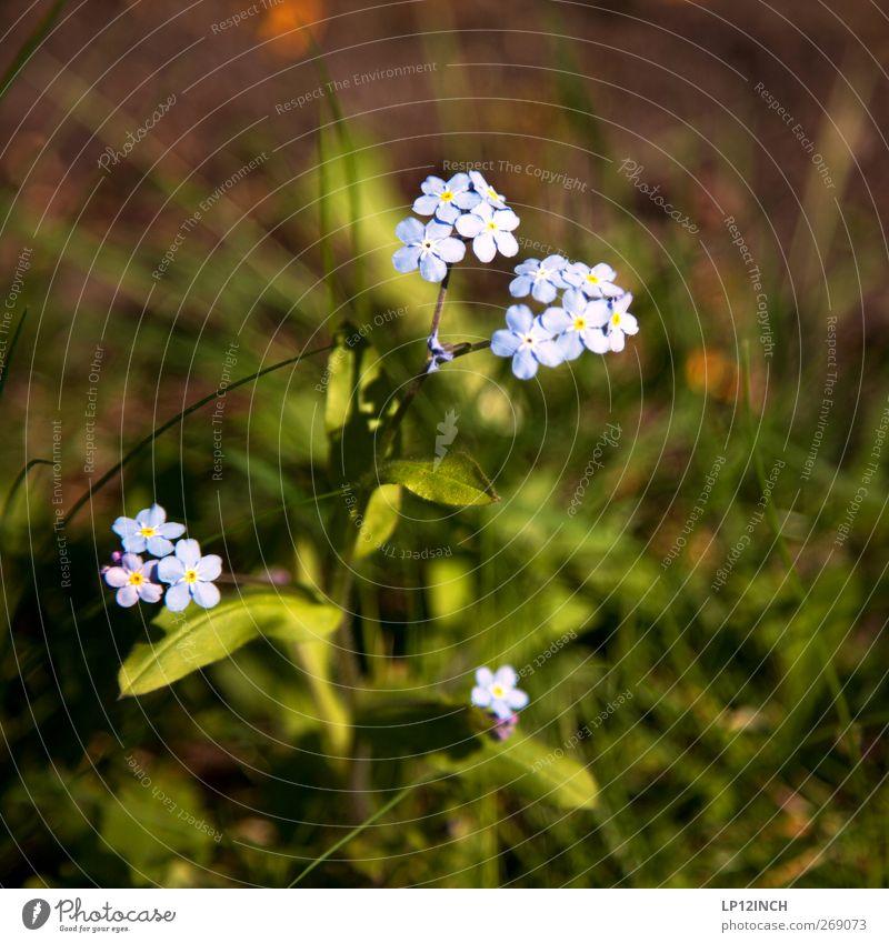 Vergiss es nicht Umwelt Natur Pflanze Blume Wildpflanze Vergißmeinnicht Garten Park Wiese Alpen Blühend schön Umweltschutz feminin vergissmeinnicht Farbfoto