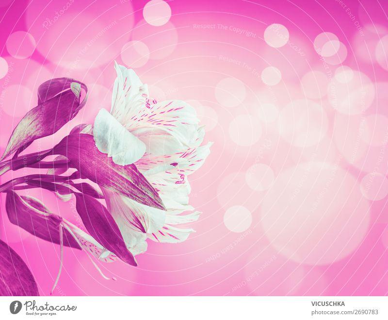 Weiße Blumen auf pink Hintergrund Natur Sommer Pflanze weiß Freude Hintergrundbild Feste & Feiern rosa Design Dekoration & Verzierung Blumenstrauß