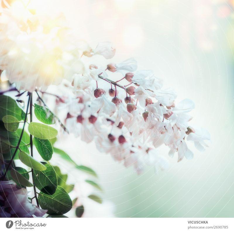 Weiße Frühlings-Akazienblüte auf verschwommenem Naturhintergrund mit Bokeh und Sonnenlicht, Nahaufnahme. Abstrakte florale Frühlingsnatur , im Freien weiß Blüte