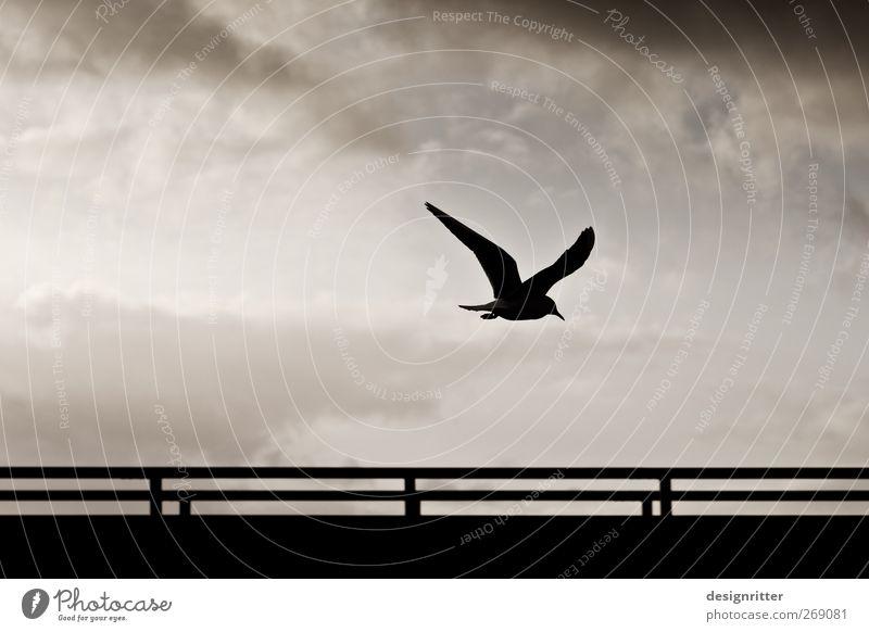 Das letzte Wort Umwelt Himmel Wolken Wildtier Vogel Flügel Möwe Seevogel 1 Tier fliegen dunkel frei wild Hoffnung Sehnsucht Heimweh Fernweh Freiheit Frieden