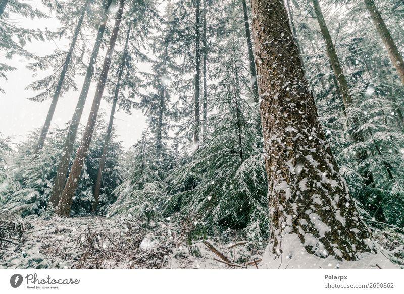 Schneesturm in einem Wald mit hohen Pinienbäumen schön Ferien & Urlaub & Reisen Winter Berge u. Gebirge Weihnachten & Advent Umwelt Natur Landschaft Pflanze