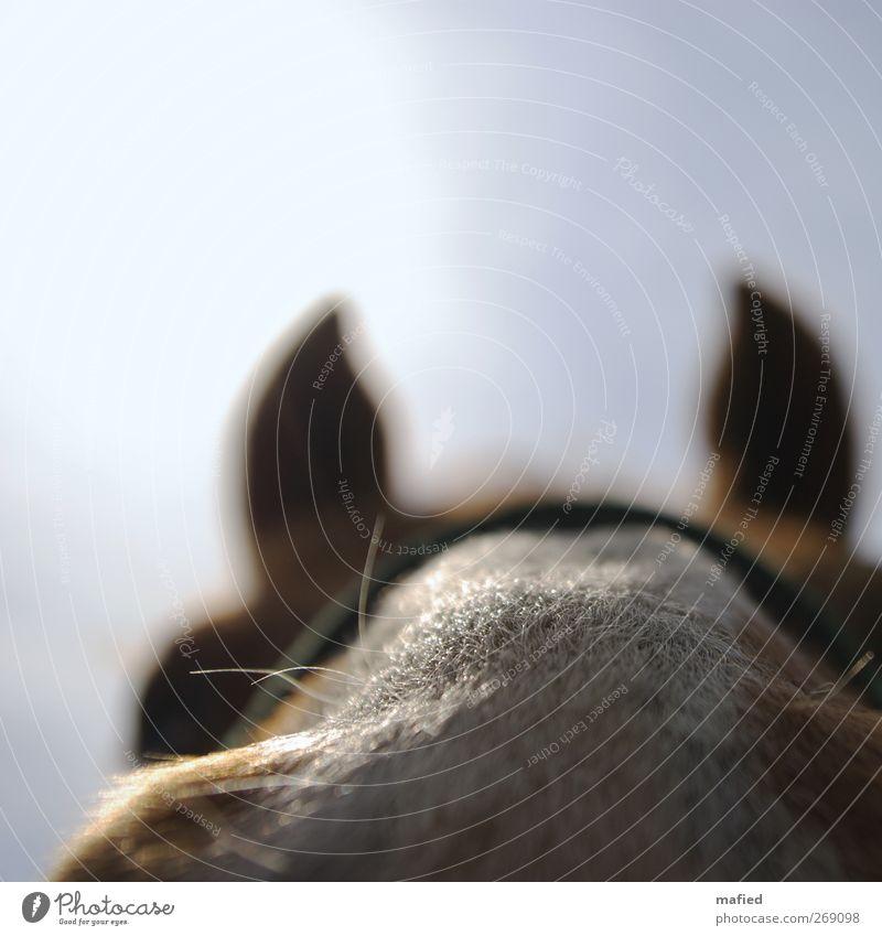 Nasenhaare Tier Pferd 1 beobachten berühren Neugier niedlich blau braun weiß Vertrauen Sympathie Tierliebe Interesse zutraulich Freundlichkeit Farbfoto