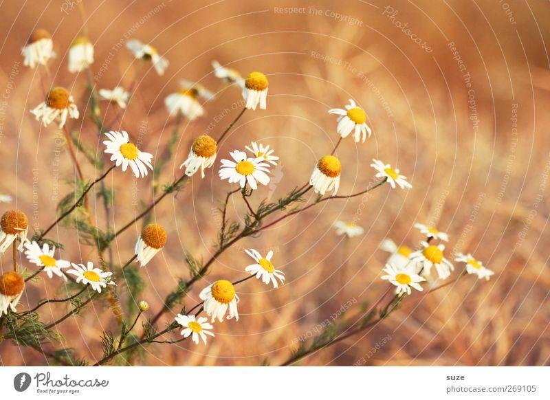 Kleine Sonnen Natur weiß schön Pflanze Blume gelb Leben Blüte Gesundheit natürlich authentisch Sträucher viele rein Freundlichkeit Kräuter & Gewürze