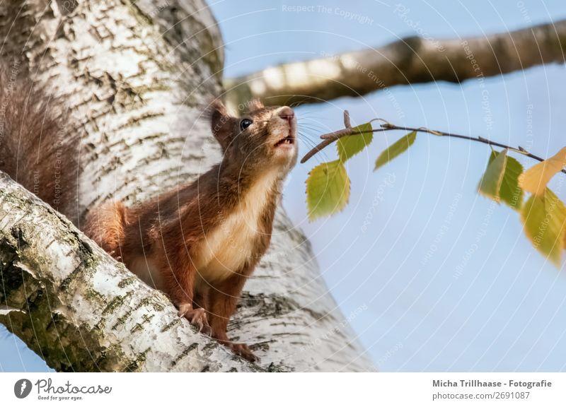Schnüffelndes Eichhörnchen Natur Tier Wolkenloser Himmel Sonnenlicht Schönes Wetter Baum Blatt Wildtier Tiergesicht Fell Krallen Pfote Nase Ohr Auge 1 Duft