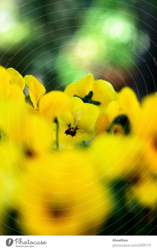 Viola im Körbchen Pflanze Schönes Wetter Blatt Blüte Stiefmütterchen Garten Blume Blühend gelb grün Frühlingsgefühle ästhetisch Duft Sinnesorgane Blumenstrauß