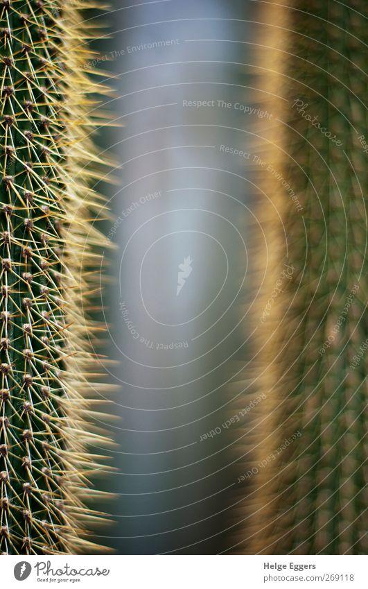 Nähe und Ferne Pflanze Kaktus exotisch Armut Vergangenheit Zukunft Sinnbild Spitze weich Farbfoto Innenaufnahme Nahaufnahme Detailaufnahme