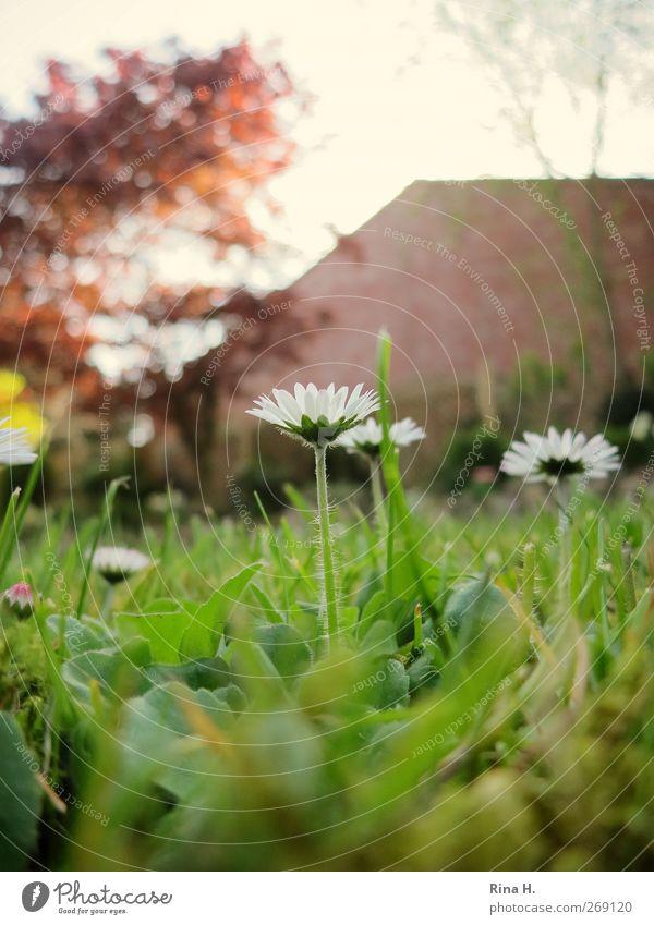 Gänseblümchen im Garten Natur grün Baum Pflanze Frühling Gras natürlich Beginn Häusliches Leben Idylle Blühend
