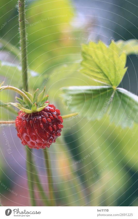 Walderdbeere Natur Pflanze Sommer Blatt Wildpflanze Wald-Erdbeere Garten Park blau gelb grün rosa rot schwarz aromatisch Spaziergang entdecken ansammeln klein