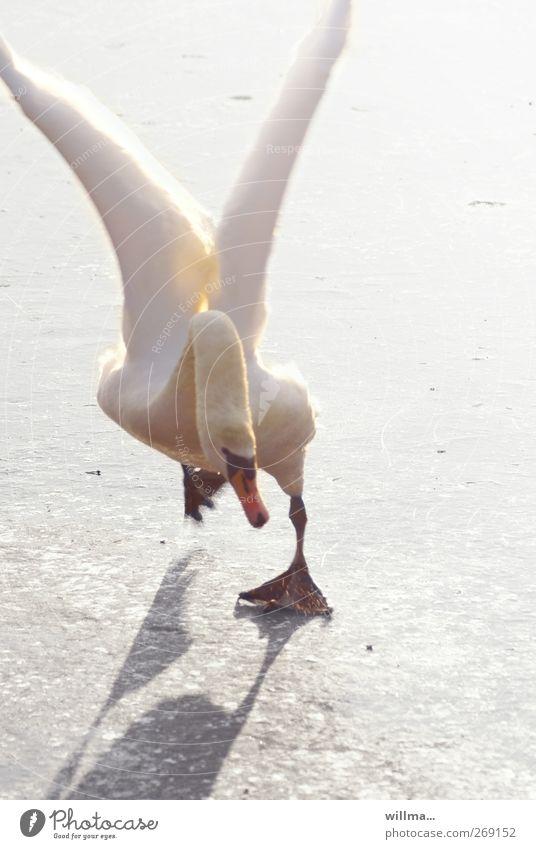 drunken angel Schwan Eis tollpatschig ausrutschen lustig Schräger Vogel Endspurt Winter Frost Tier Flügel fliegen laufen rennen verrückt weiß anstrengen