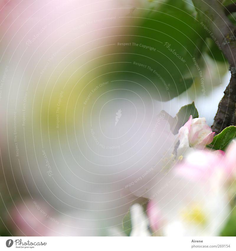 Blütenschaum Natur weiß grün Baum Pflanze Blatt Frühling Blüte rosa Wachstum Hoffnung zart Blühend Lebensfreude Duft üppig (Wuchs)