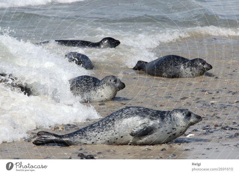 Kegelrobben II ... Umwelt Natur Tier Wasser Sommer Schönes Wetter Küste Strand Nordsee Insel Helgoland Wildtier Tiergruppe liegen Blick ästhetisch