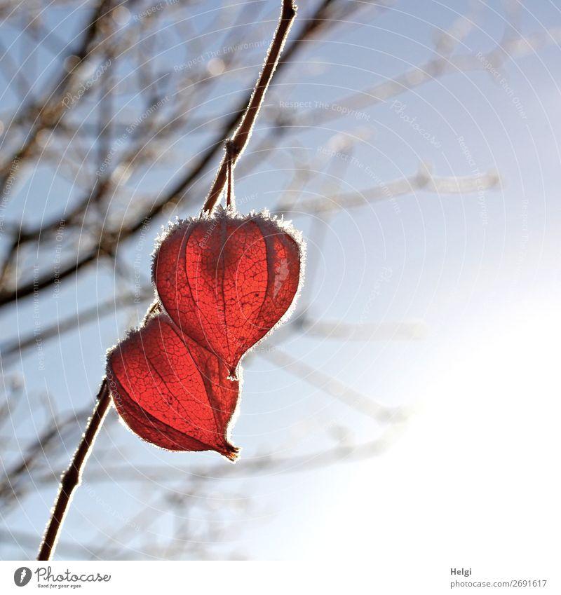 zwei Früchte der Lampionblume mit Raureif hängen im Gegenlicht an einem Zweig Umwelt Natur Pflanze Winter Schönes Wetter Eis Frost Sträucher Fruchtstand Garten