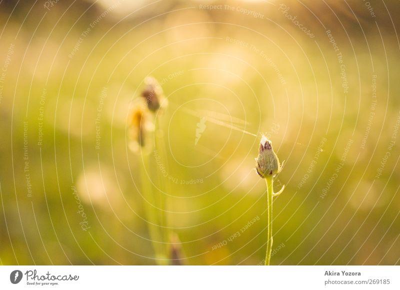 separated but connected. Natur Pflanze grün Sommer weiß Blume Einsamkeit Landschaft gelb Wärme Traurigkeit Blüte Liebe Gefühle Frühling Wiese