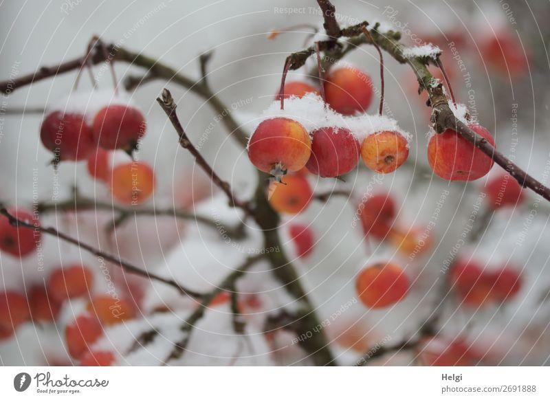 orangerote Zieräpfel mit Schneehäubchen hängen an Zweigen Umwelt Natur Pflanze Winter Baum Apfelbaum Ast Zierapfel Garten frieren ästhetisch außergewöhnlich