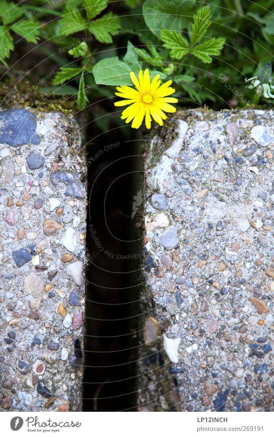 G-elbe Blume Natur Pflanze Sommer Umwelt gelb Stein Garten Park Erde Blühend