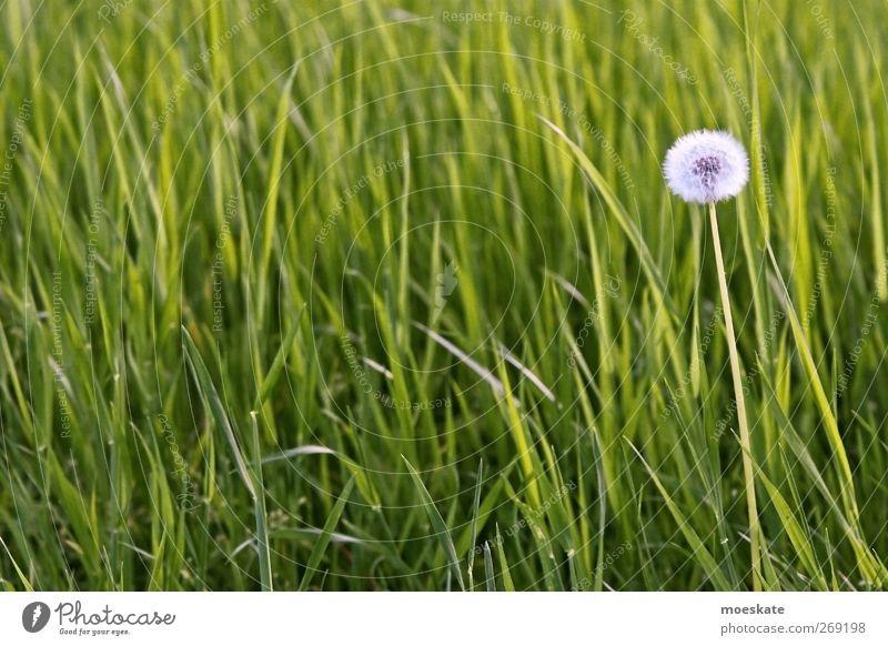 Wünsch dir was! Natur grün Pflanze Blume Umwelt Wiese Frühling Gras Glück Zufriedenheit Wohlgefühl Expedition Grünpflanze