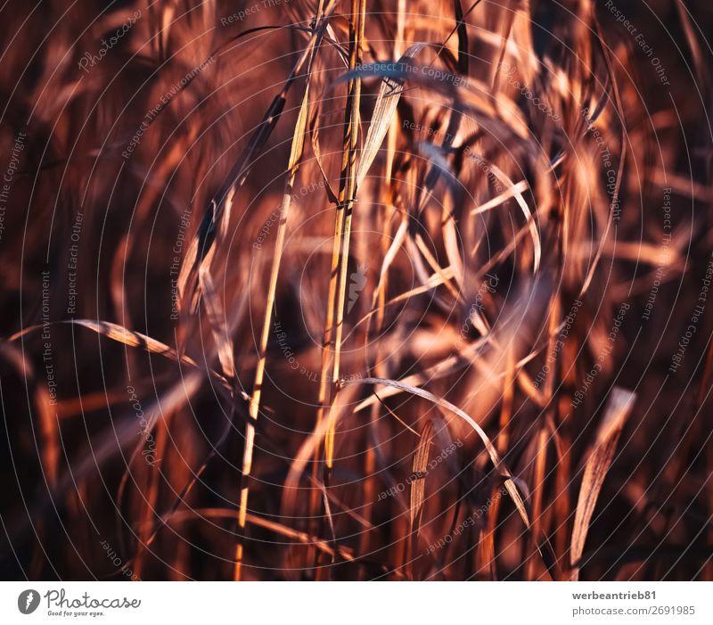 Verschwommenes Gras in Rottöne Sommer Winter Natur Pflanze Frühling Herbst Wiese Wald Bewegung Wachstum frisch Weizen getöntes Bild defokussiert