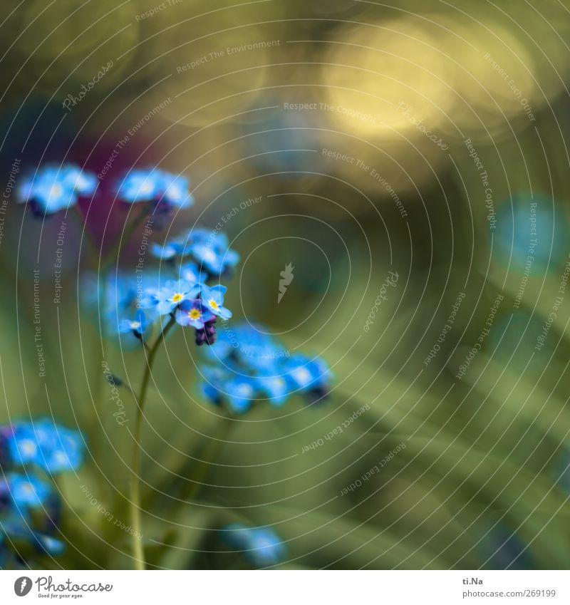 Daumen drücken Frühling Schönes Wetter Pflanze Wildpflanze Vergißmeinnicht Garten Blühend Duft glänzend schön klein blau gelb grün Farbfoto Außenaufnahme