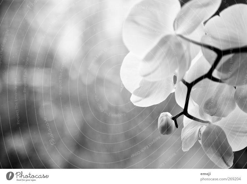 Orchidacea Umwelt Natur Pflanze Blume Orchidee Blüte weiß Schwarzweißfoto Außenaufnahme Nahaufnahme Detailaufnahme Textfreiraum links Hintergrund neutral Licht