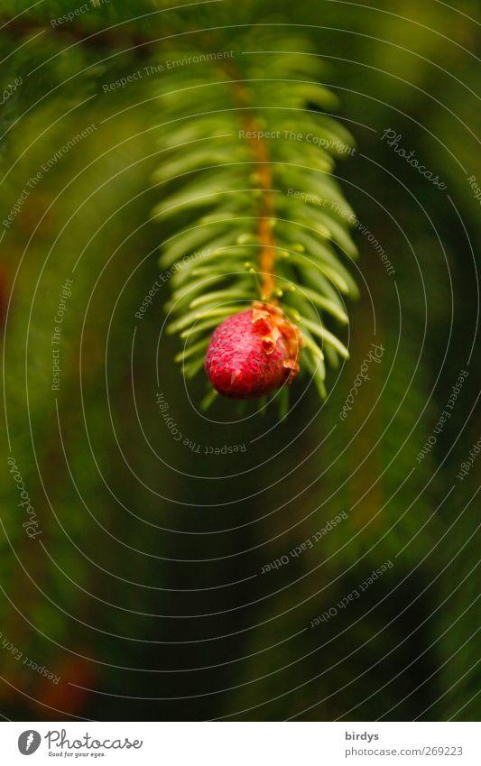 Maispitze Natur grün schön Baum rot Frühling natürlich frisch authentisch Wachstum Ast Blattknospe Trieb Nadelbaum Tannenzweig Wildpflanze