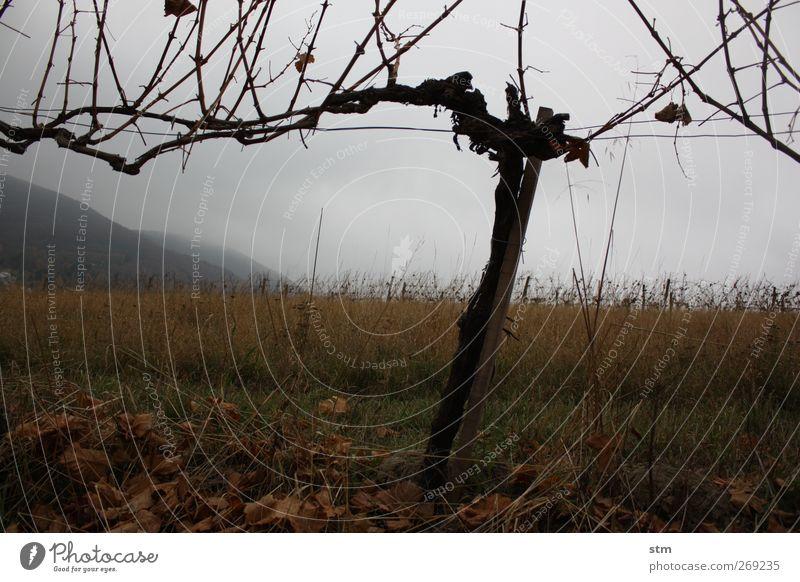 der herbst kommt immer wieder 1 Natur Landschaft Urelemente Erde Himmel Wolken Herbst schlechtes Wetter Pflanze Blatt Nutzpflanze Wein Weinberg Hügel Holz ruhig