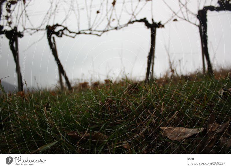 der herbst kommt immer wieder 2 Natur Landschaft Pflanze Erde Himmel Wolken Herbst schlechtes Wetter Nutzpflanze Wein Weinberg Blatt Gras Hügel geduldig ruhig