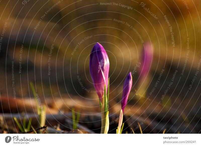 crocus sativa schön Leben Berge u. Gebirge Natur Pflanze Blume Blatt Blüte Wildpflanze Wiese ästhetisch frisch neu blau grün Farbe purpur Krokusse Frühling
