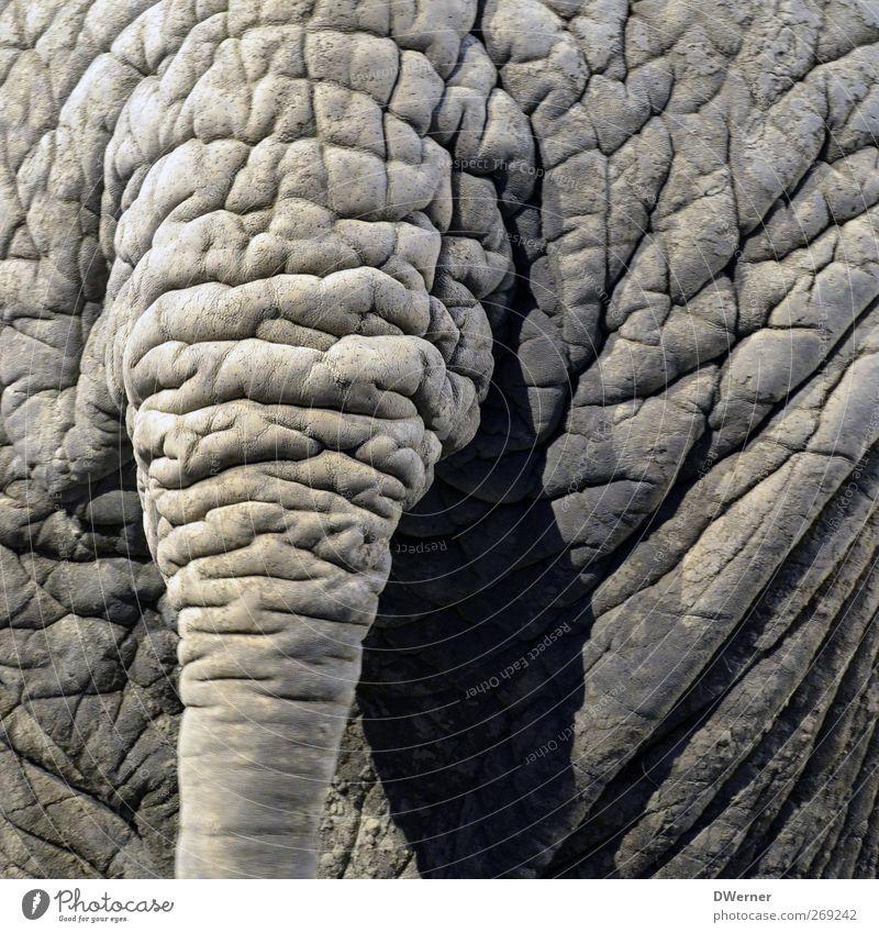 Wer kennt es nicht, das Problem mit den Falten? Natur Tier grau Wildtier dreckig Haut leuchten Perspektive Urelemente rund Gesäß Hautfalten Hügel Tierhaut Übergewicht dick