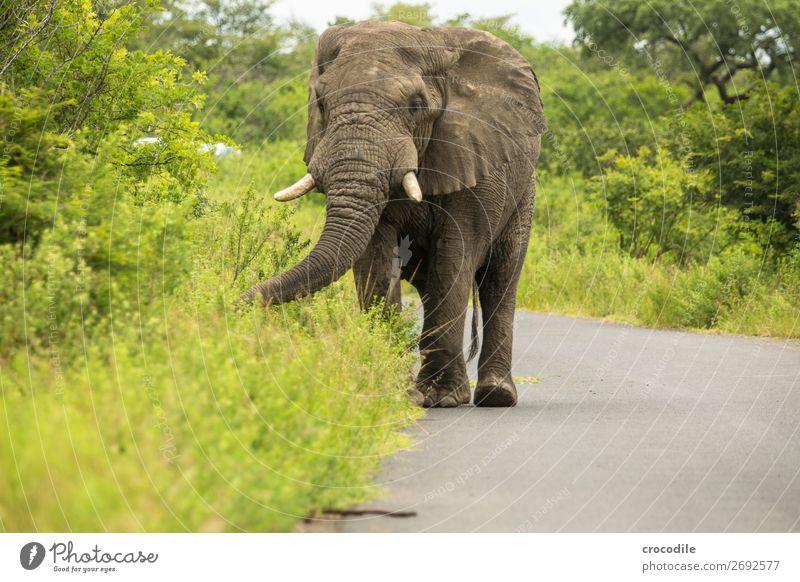 # 845 Elefant Koloss Herde Südafrika Nationalpark Schutz friedlich Natur Rüssel Säugetier bedrohlich aussterben Elfenbein Großwild Big 5 Sträucher Wasserstelle