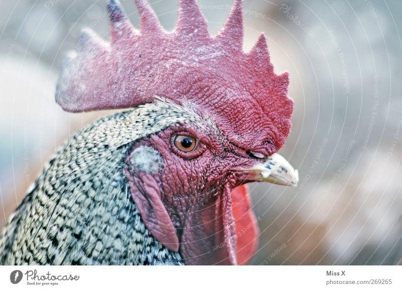 Schau mir in die Augen Kleines Hühnchen Tier Auge Kopf Schnabel Stolz Nutztier Hahn Hühnervögel Hahnenkamm