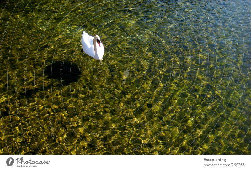 Schwan im See Umwelt Natur Wasser Sommer Wetter Schönes Wetter Wärme Lunzer See Tier Wildtier 1 Neugier blau mehrfarbig gelb weiß Schatten Boden Seegrund Stein
