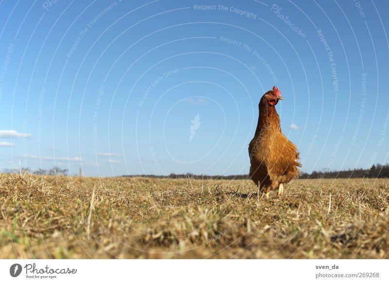 lonely chicken Tier Himmel Wolkenloser Himmel Sonne Sonnenlicht Frühling Schönes Wetter Feld Bauernhof Blauer Himmel Gras gelb blau Weide Nutztier Vogel