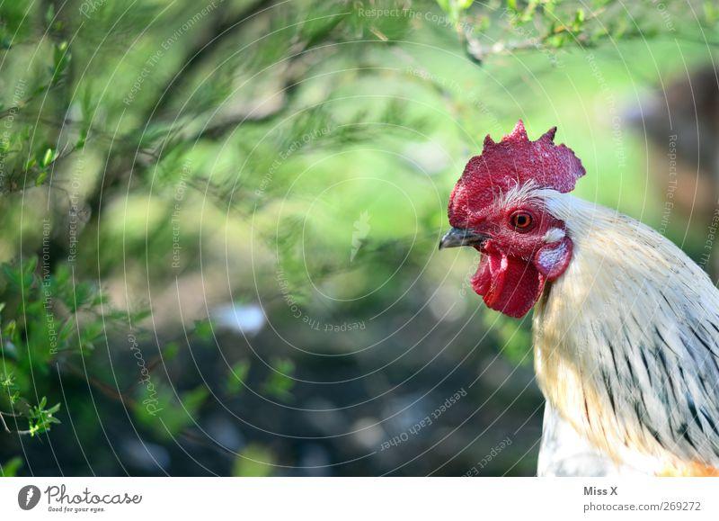 im Bilde Natur Sträucher Tier Nutztier 1 beobachten Neugier weiß Haushuhn Hahn Hahnenkamm Freilandhaltung Schnabel Farbfoto mehrfarbig Außenaufnahme