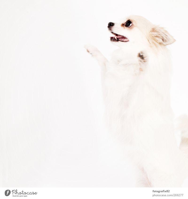 auf den hund Hund weiß Tier springen Neugier entdecken Haustier Pfote Tierliebe