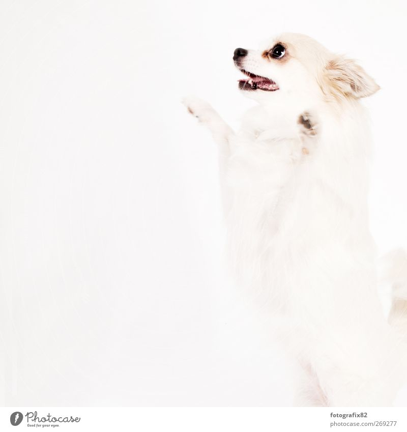 auf den hund Tier Haustier Hund 1 entdecken springen weiß Tierliebe Neugier Pfote Farbfoto Gedeckte Farben Studioaufnahme Menschenleer Textfreiraum links