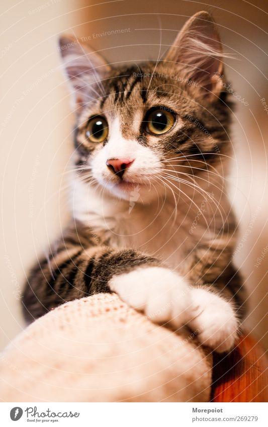 Katze schön Tier grau Tierjunges braun rosa natürlich niedlich