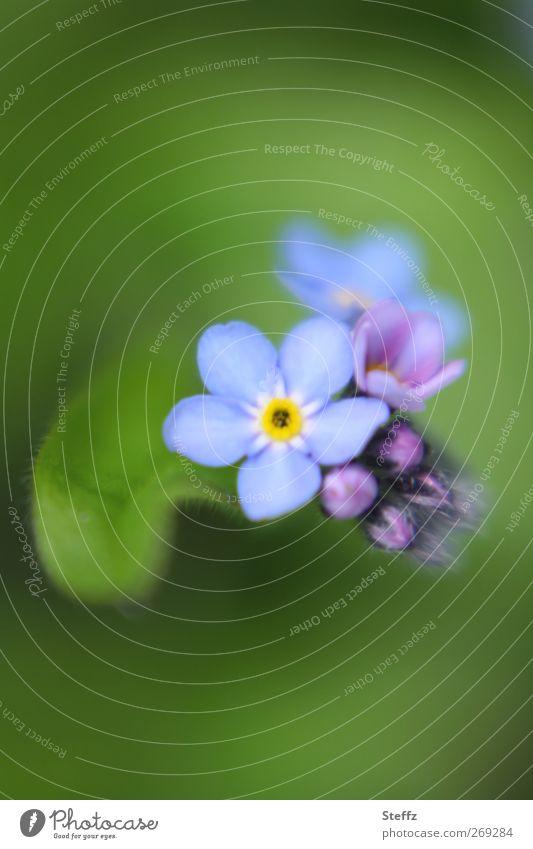just remember Natur Pflanze schön grün Blume Blüte Frühling Geburtstag Blühend Lebensfreude Romantik Blumenstrauß Blütenknospen Blütenblatt hell-blau vergessen