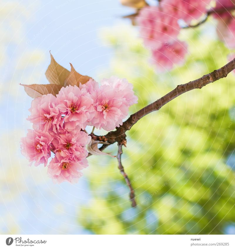 Gib misch die Kirsche! Erholung ruhig Ausflug Natur Pflanze Himmel Baum Blatt Blüte Kirschbaum Kirschblüten Garten Park Duft verblüht natürlich schön blau grün